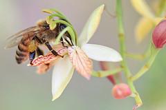 Toca Comer. Curiosidades sobre las abejas y su gusto por la cafeína. Marisol Collazos Soto, Rafael Barzanallana