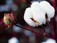 Ciencia y Alimentación. Algodón OGM en Burkina Faso. Rafael Barzanallana
