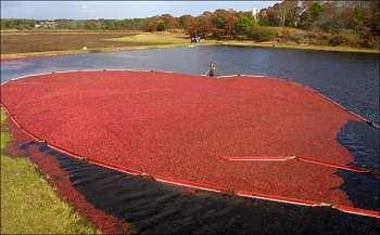 Toca Comer. Cultivo árandanos rojos. Marisol Collazos Soto