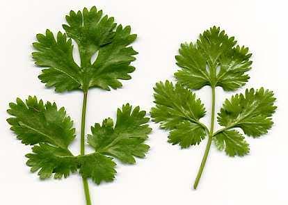 Toca Comer. Aceite esencial de cilantro como bactericida. Marisol Collazos Soto