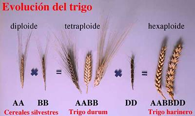 Toca Comer.   El trigo transgénico es seguro. Marisol Collazos Soto, Rafael Barzanallana