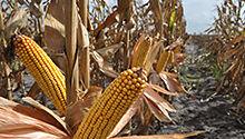 Toca Comer. Maíz de Monsanto resistente a la sequía. Marisol Collazos Soto, Rafael Barzanallana