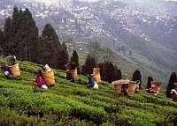 Toca Comer. Té Darjeeling primer producto con indicación geográfica de India. Marisol Collazos Soto, Rafael Barzanallana