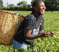 Ciencia y Alimentación. El té verde puede enmascarar dopaje por testosterona. Rafael Barzanallana
